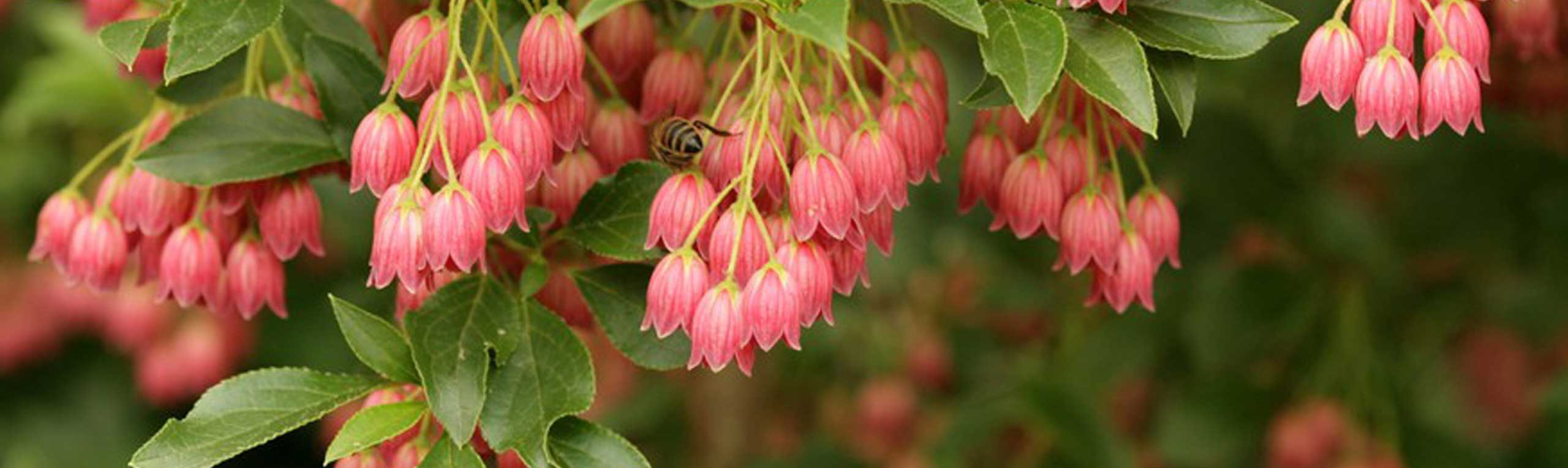 beautiful Enkianthus flowers encouraging joy